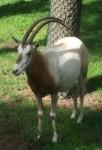 Säbelantilope (Serengetipark Hodenhagen)