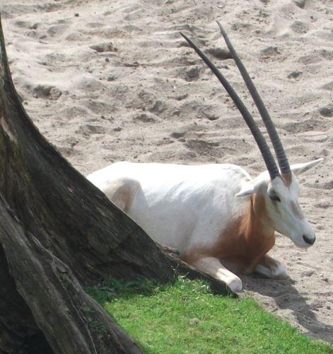 Säbelantilope (Zoo Leipzig)