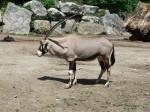 Südafrikanischer Spießbock (Zoo Salzburg)