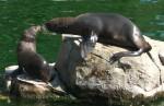 Südafrikanischer Seebär (Zoo Frankfurt)