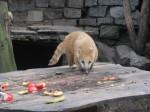 Südamerikanischer Nasenbär (Zoo Linz)