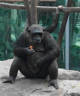Schimpanse (Tierpark Hellabrunn)