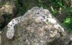 Schneeleopard (Zoo Salzburg)