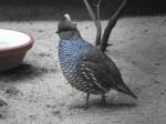 Schuppenwachtel (Vogelpark Irgenöd)