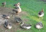 Schwanengans (Weltvogelpark Walsrode)