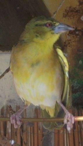 Schwarzkopfgrünfink (Wildpark Poing)