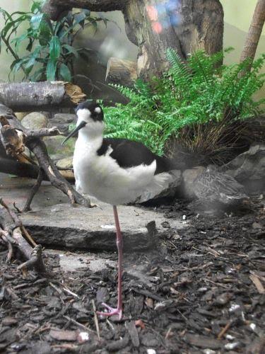 Amerikanischer Stelzenläufer (Zoo Augsburg)