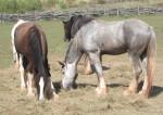 Shire-Horse (Thüringer Zoopark)