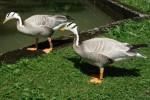 Streifengans (Tierpark Hellabrunn)