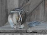 Sibirisches Streifenhörnchen (Bergtierpark Blindham)