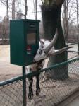 Tauernschecke (Tierpark Hellabrunn)