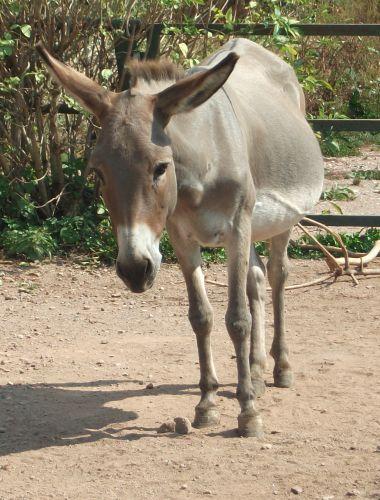 Thüringerwald-Esel (Thüringer Zoopark)