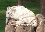 Tiger, weiß (Serengetipark Hodenhagen)
