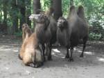Trampeltier (Zoo Dortmund)