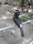 Trompeterhornvogel (Tiergarten Straubing)