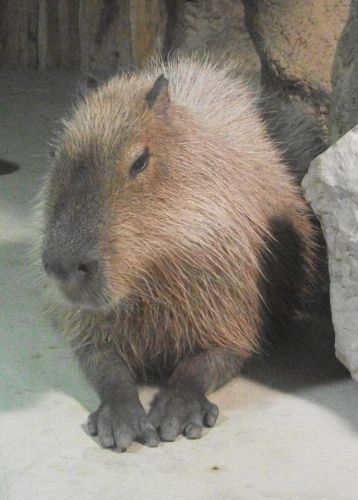 Wasserschwein (Tierpark Hellabrunn)