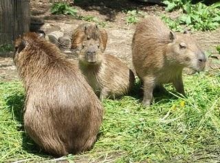 Wasserschwein (Zoo Salzburg)