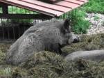 Wildschwein (Tierpark Haag)