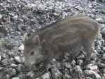 Wildschwein, Ferkel (Wildpark Poing)