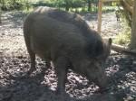 Wildschwein (Wildpark Poing)