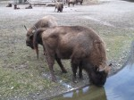 Wisent (Tierpark Hellabrunn)