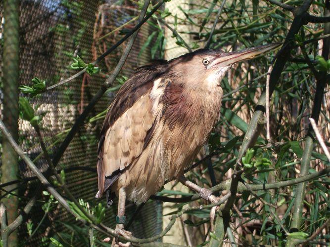 Zwergdommel (Zoo Augsburg)