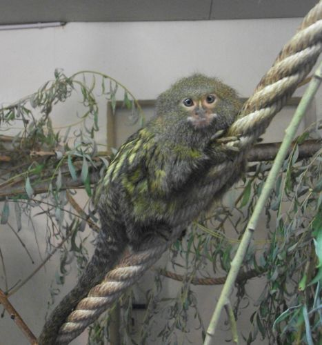 Zwergseidenäffchen (Zoo Augsburg)