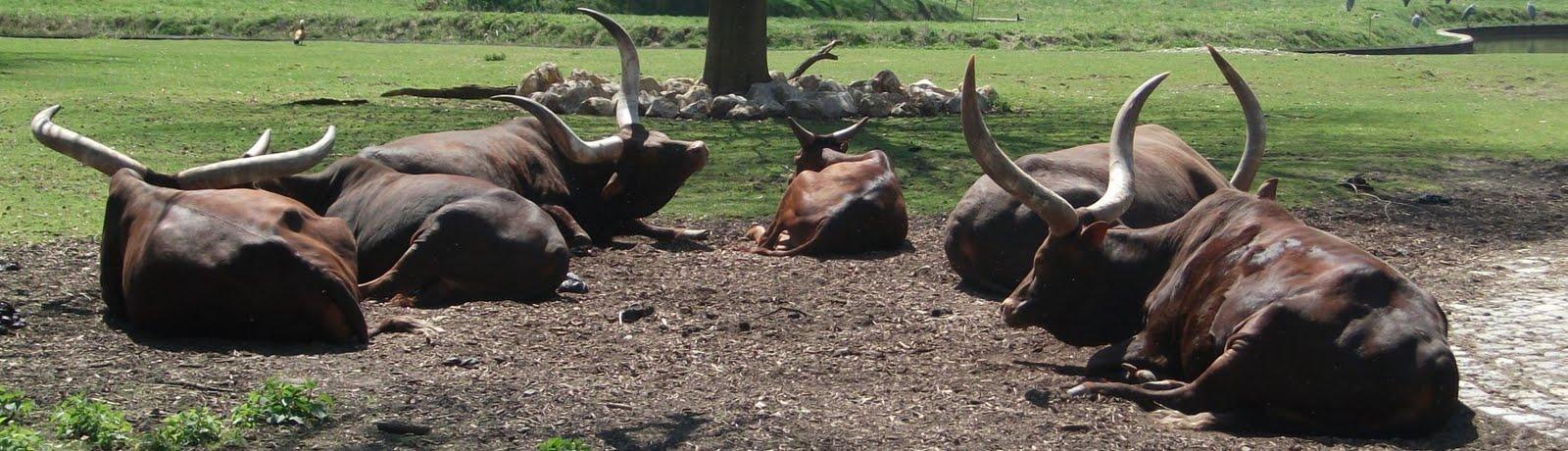 Watussirind (Zoo Augsburg)