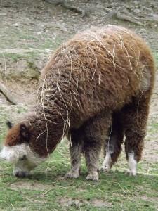 Alpaka (Zoo Brno)