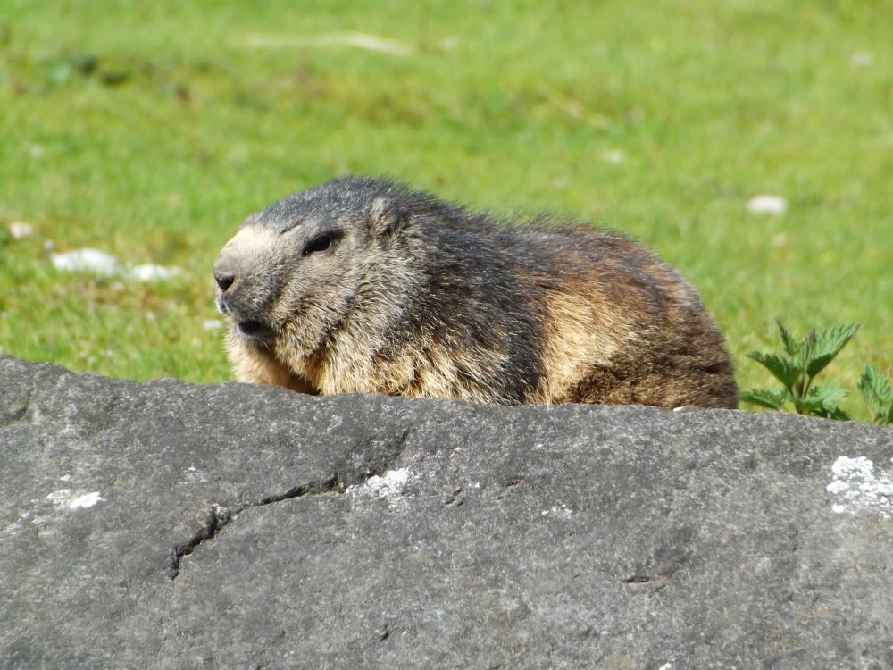 Alpenmurmeltier (Tierpark Hellabrunn)