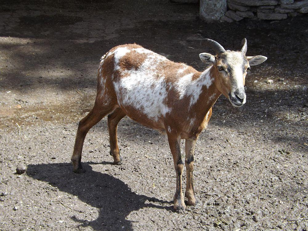 Kamerunschaf (Raritätenzoo Ebbs)