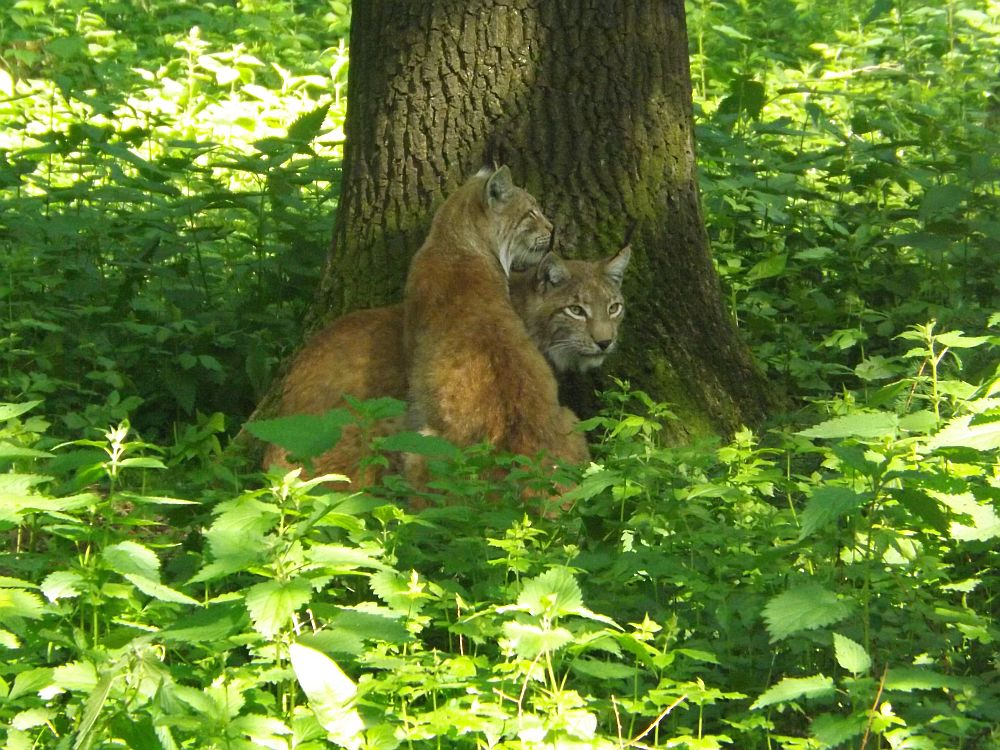 Luchs (Wildpark Poing)