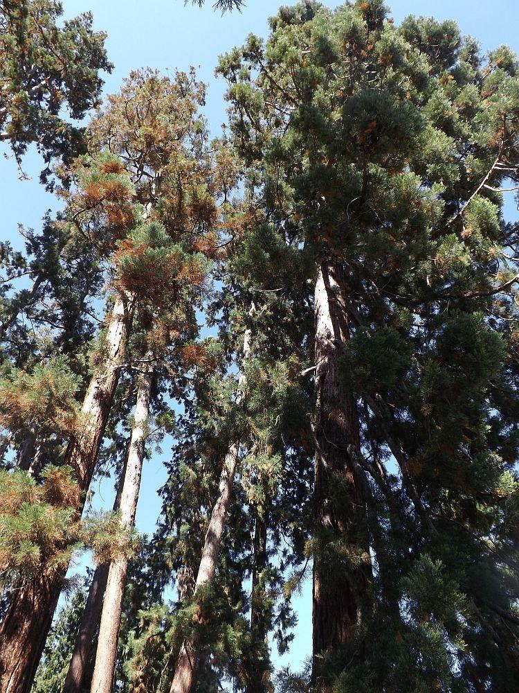 Mammutbäume (Wilhelma Stuttgart)