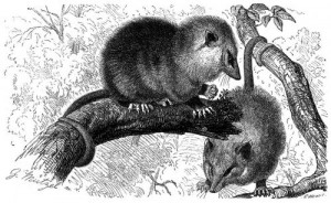 Nordopossum (Brehms Tierleben)