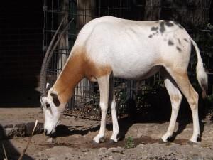Säbelantilope (Zoo Berlin)