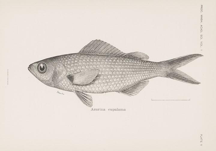 Galapagos-Riffbarsch (Edmund Heller/Robert E. Snodgrass)