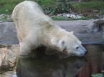 Antonia, der kleinste Eisbär der Welt (ZOOM Erlebniswelt)