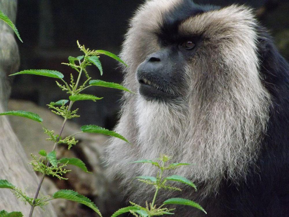 Bartaffe (Zoo Leipzig)