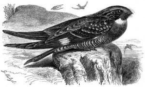 Falkennachtschwalbe (Brehms Tierleben)