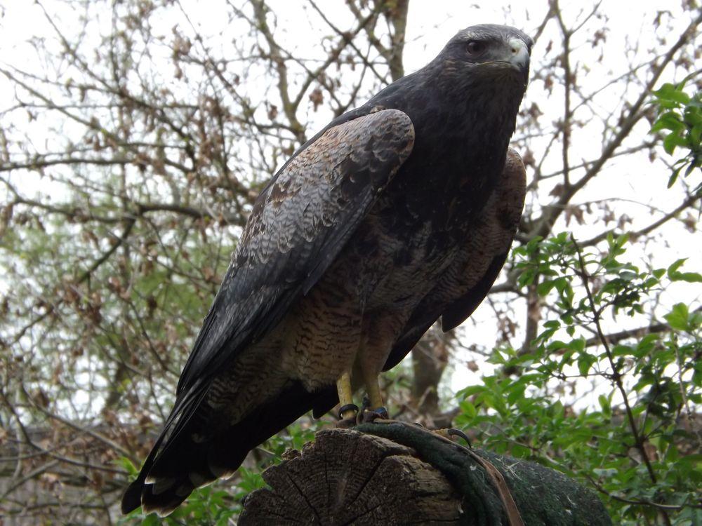 Blaubussard(Vogelpark Abensberg)