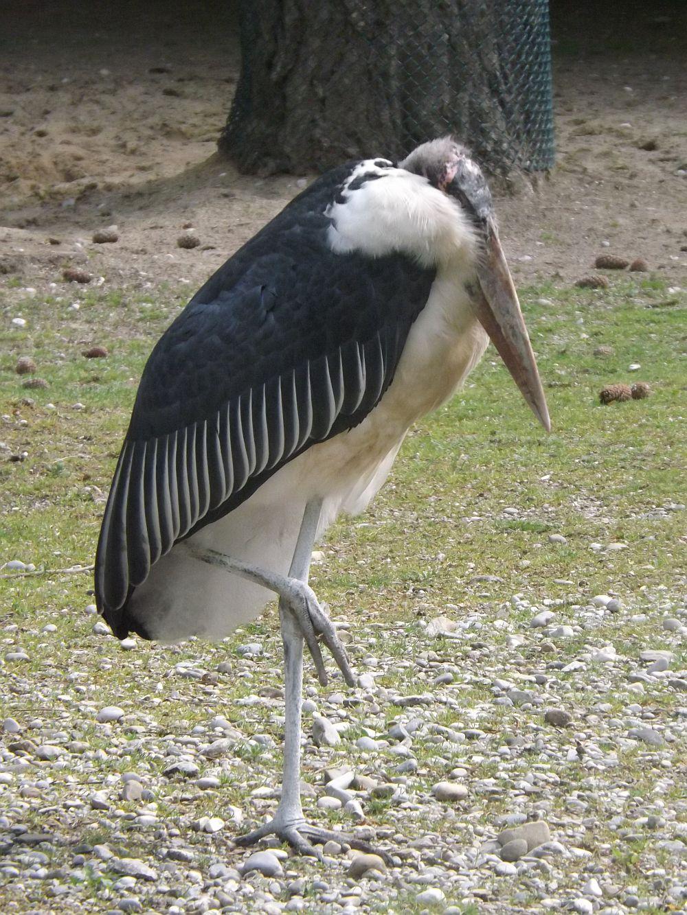 Marabu (Tierpark Hellabrunn)