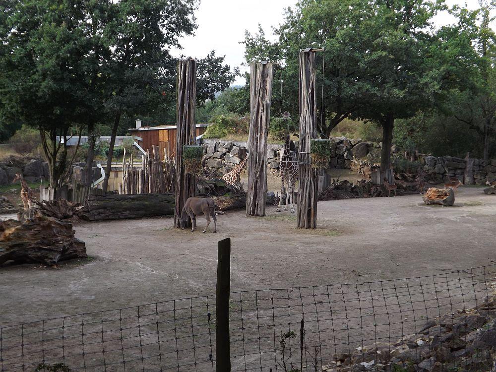 Samburu (Zoo Osnabrück)