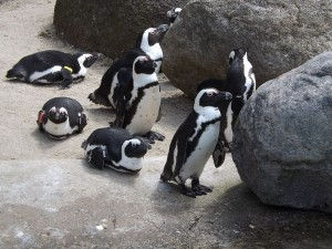 Brillenpinguin (Zoo Leipzig)