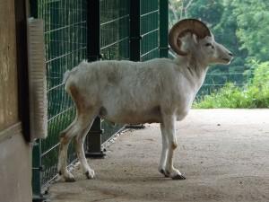 Dallschaf (Zoo Plzen)