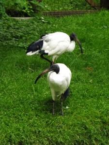 Heiliger Ibis (Tierpark Gotha)