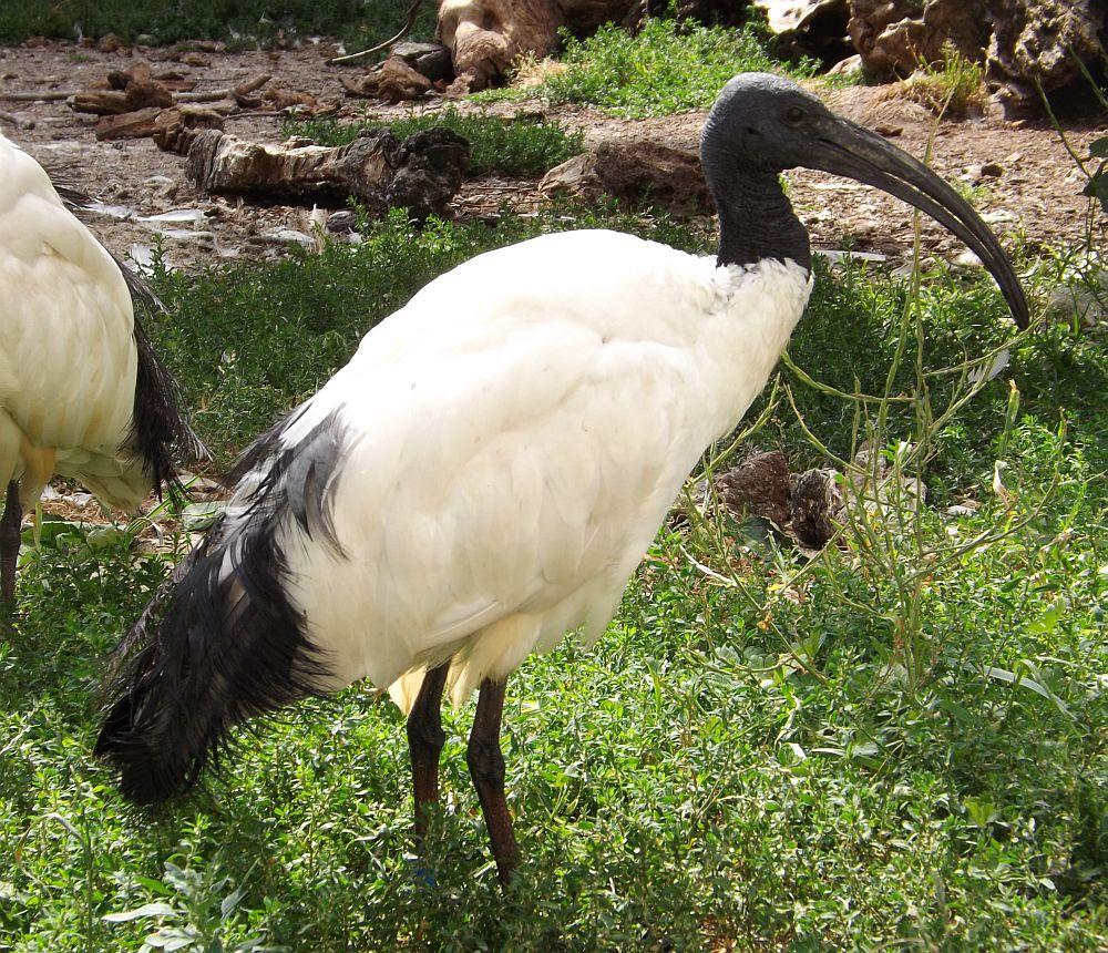 Heiliger Ibis (Jurazoo Neumarkt)