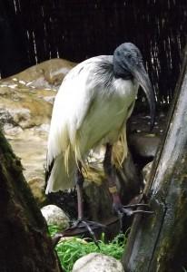 Heiliger Ibis (Tiergarten Wels)