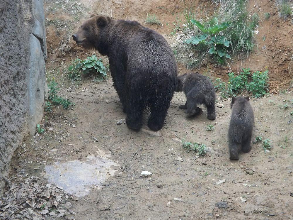 Kamtschatkabär (Zoo Brno)