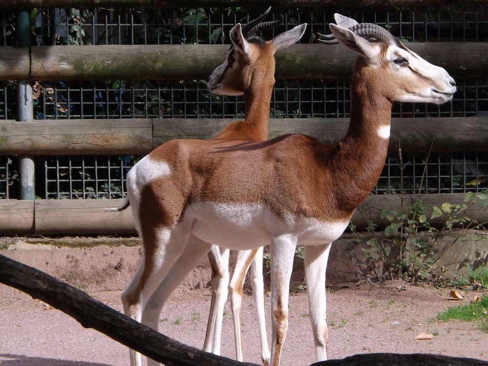 Mhorrgazelle (Zoo Frankfurt)