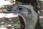 Nandu (Vogelpark Olching)